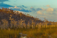 White Ibis on dwarf cypress trees at edge of cypress strand, sawgrass prairie, road to Pahayokee Overlook, Everglades National Park, Homestead, Florida