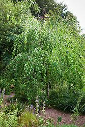 Cercidiphyllum japonicum f. pendulum in autumn colour. Pendulous katsura