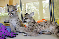 VALLEJO, CA - APRIL 26:  Two of three 11 month old cougar cubs play together at Six Flags Discovery Kingdom on April 26, 2007 in Vallejo, California. The cougar cubs were given to the park from the Idaho Fish & Game in March after they were found motherless in the wild and it was determined that they would not survive in the wild. They will be a part of the park's Wildlife Theater show.  (Photo by David Paul Morris)