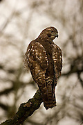 A red-tailed hawk (Buteo jamaicensus) in the Ridgefield National Wildlife Refuge, Washington.