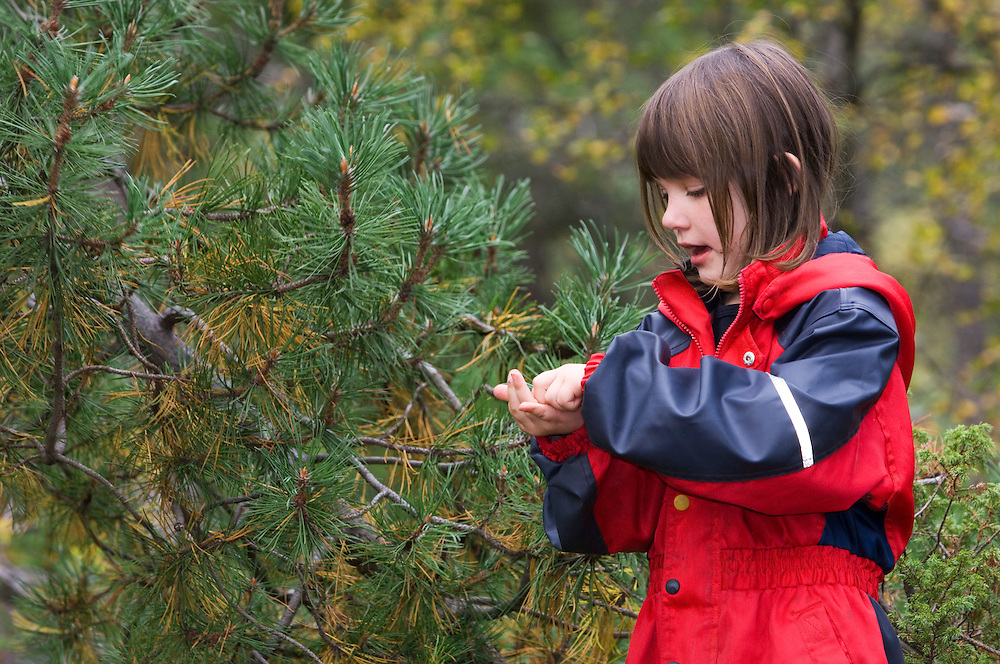 Girl in a naturbarnehage (nature nursery)  feeling pine needle, Norway