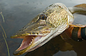 Northern Pike Stock Photos