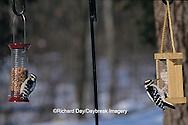 00585-00813 Downy Woodpecker female on peanut feeder & Hairy Woodpecker male on suet feeder in winter Marion Co.  IL