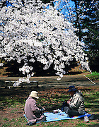 An old Japanese couple enjoying Obento box lunch under the warmth of the spring sun and the wonderful Sakura cherry blossoms in Hirosaki Castle Park.<br />