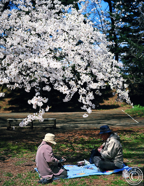 An old Japanese couple enjoying Obento box lunch under the warmth of the spring sun and the wonderful Sakura cherry blossoms in Hirosaki Castle Park.<br /> Northern Honshu, Japan. Over 3,000 cherry trees come into bloom from mid April to early May in the castle park.