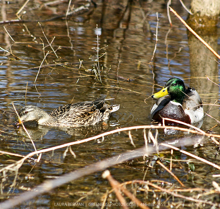 Mallard ducks in wetland pond (Anas platyrhynchos).