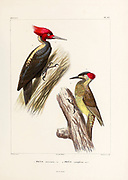 hand coloured sketch Top: [Here as ]) Bottom: Picus canipilcus From the book 'Voyage dans l'Amérique Méridionale' [Journey to South America: (Brazil, the eastern republic of Uruguay, the Argentine Republic, Patagonia, the republic of Chile, the republic of Bolivia, the republic of Peru), executed during the years 1826 - 1833] 4th volume Part 3 By: Orbigny, Alcide Dessalines d', d'Orbigny, 1802-1857; Montagne, Jean François Camille, 1784-1866; Martius, Karl Friedrich Philipp von, 1794-1868 Published Paris :Chez Pitois-Levrault et c.e ... ;1835-1847