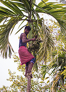 Collecting betel nuts from areca palms in Kaziranga, Assam, India.