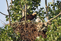 Kaiseradler am Nest, Aquila heliaca, Ost-Slowakei / Eastern Imperial Eagle at nest, Aquila heliaca, East Slovakia