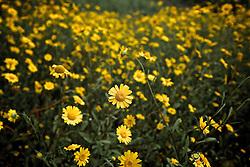 Flores amarelas espalhas ao campo. FOTO: Jefferson Bernardes