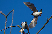 Two tree swallows (Tachycineta bicolor) fight over a perch in the wetlands of the Washington Park Arboretum in Seattle, Washington.