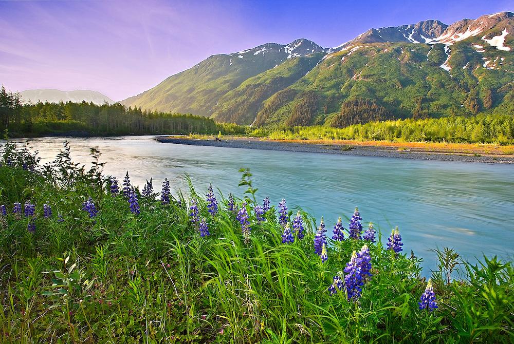 Alaska, Portage Valley. scenic. Wildflower  lupine grow along a riverbank.