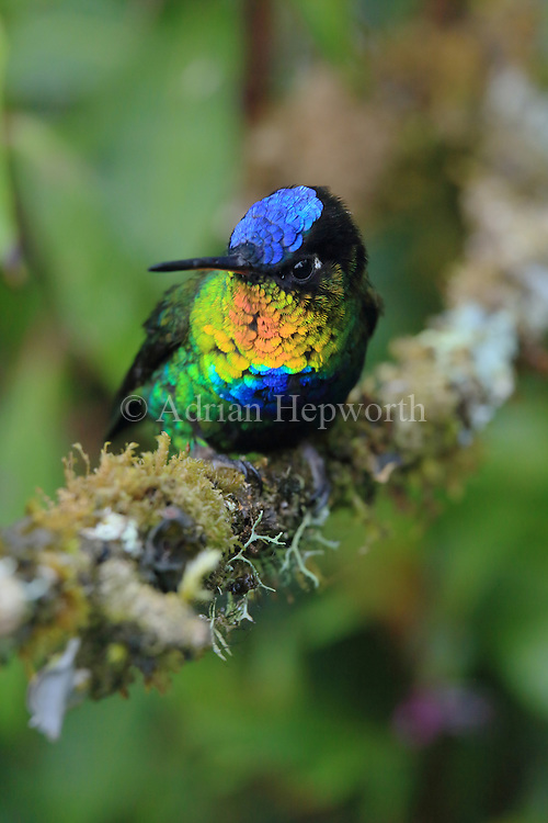 Fiery-throated hummingbird (Panterpe insignis) male. Cerro de la Muerte mountain range, Costa Rica. <br />