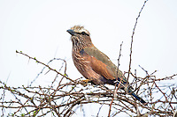 Purple Roller, Madikwe Game Reserve, North West Provonce, South Africa