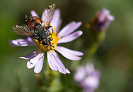 A fly with a ragged set of wings pauses atop a purple flower Saturday on the National Elk Refuge.