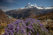 Lupins above Yanganuco valley, four summits of Huandoy on right, Cordillera Blanca, Andes mountains, Peru