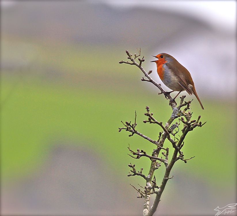 A small robin opens his throat and raises his voice. Photographed in the Anne Valley county Waterford in February.