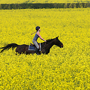 PIC SHOWS JODIE BAKER  ENJOYING THE WARM WEATHER BY RIDING HER HORSE IN A RAPESEED FIELD IN ROTHWELL,NORTHANTS... Student Jodie Baker rides through a golden-yellow field of rapeseed as she  went for an early morning ride through the spectacular field in Rothwell, Northants,  ..Britain's countryside has been turning yellow after the fragrant crop burst into colour three weeks earlier than usual thanks to an unusually hot and sunny April...Rapeseed, which is an irritant to hay fever sufferers, now covers more than 1.5million acres across the UK...This year's crop, which will nearly all be turned into vegetable oil, was sown last August and will be harvested in July. It usually starts flowering in mid-May...Rapeseed is a member of the mustard or cabbage family and the name derives from the Latin for turnip...It was first recorded in English at the end of the 14th century, but it was during the 1980's that it started to become more commonly seen...Oil is taken from the seed and the plant itself is recycled back into the soil...Forecasters believe this could be the hottest April on record and the temperatures are expected to stay high into the Easter weekend.