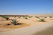 young palm tree plantation Photographed at Faran in the Arava desert, Israel