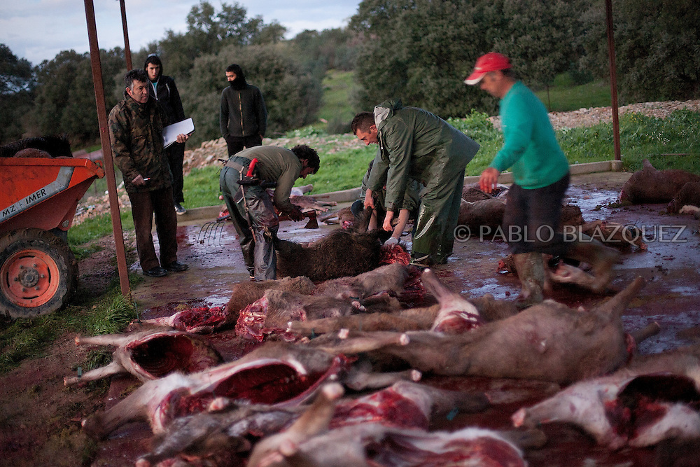A butcher prepares the dead wild boar after a hunting session, in Carbajo on January 19 2013, in Caceres Province, Extremadura, Spain. .Caceres has a well preserved natural environment. Plenty of its surface is dedicated to deers and wild boars hunting, making this, an important part of its economy. But most of the land belongs to large landowners. .In Carbajo, people gather three times a year to hunt deers and wild boars. In the past, they used to hunt for eating, but now days, they practice it as an sport and a social event. Then, they sell what the catch as wild game meat.