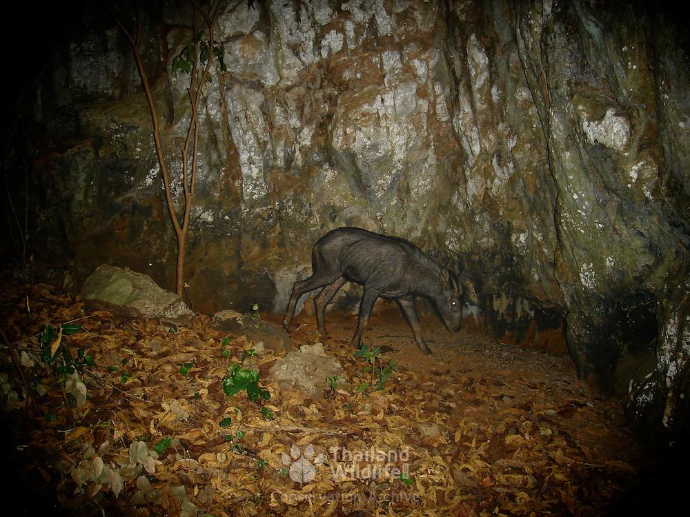 Wild Serow, Capricornis sumatraensis, photographed with an automated camera on one of Uthai Thani's (Thailand) limestone karts.