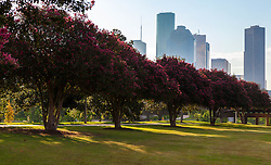 Row of Crepe Myrtle trees in Memorial Park with Houston, Texas skyline.