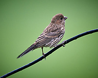 House Finch. Image taken with a Nikon D5 camera and 600 mm f/4 VR lens (ISO 1600, 600 mm, f/5.6, 1/250 sec)
