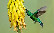 Western Emerald male (Chlorostilbon melanorhynchus). La Union, Valle del Cauca