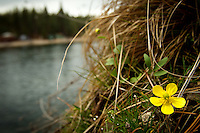 JEROME A. POLLOS/Press..A buttercup flowers blooms on the edge of a small cliff Thursday over the Spokane River at Black Bay Park.