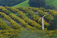Avocado Orchard and green hills in Spring, Old Creek Road, near Cayucos, California