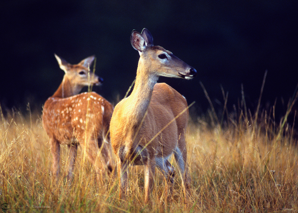 White-tailed deer, Odocoileus virginianus, doe and fawn. These deer found throughout most of the continental United States, are generalists and can adapt to a wide variety of habitats,