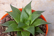 Aloe. Top view of an unidentified Aloe plant, showing its rosette of succulent and stiff leaves with thorns. The juice of the leaves of several Aloe species has medicinal properties in the treatment of ulcers, purulent ophthalmia, as a cream for reddened or sunburnt skin, and as a mosquito-repelling lotion.