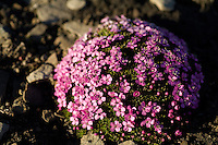 Moss campion / Silene acaulis<br /> Kungsfjord<br /> Svalbard<br /> Norway