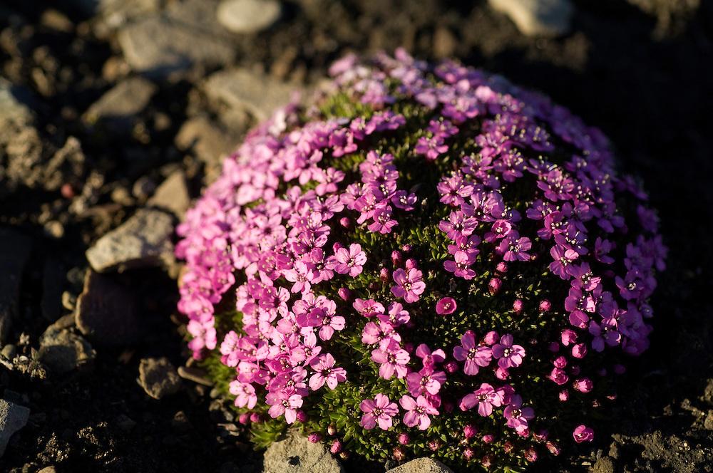 Moss campion / Silene acaulis<br /> Kungsfjord<br /> Svalbard<br /> Norway