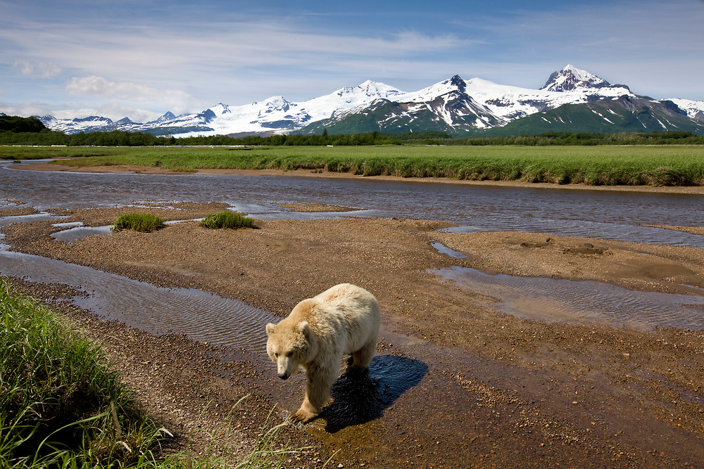 USA, Alaska, Katmai National Park, Brown Bear (Ursus arctos) walking in river bed along Hallo Bay