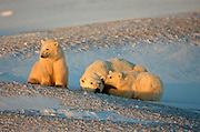 Polar bear in arctic environment sow with cubs