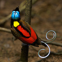 Wilson's Bird of Paradise (Cicinnurus respublica).Adult male on the main display pole in the center of his court.