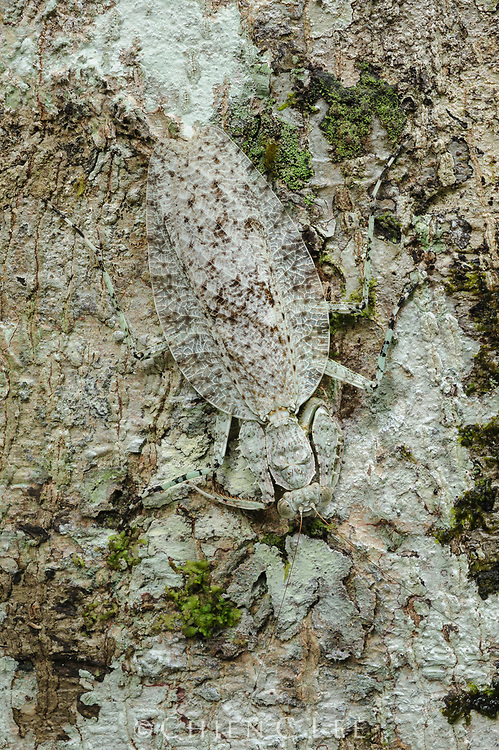 A master of camouflage, this praying mantis (Theopompa borneana) conceals itself against the bark of a tree.)