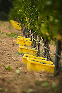 cabernet sauvignon harvest at beringer chabot vineyard in saint helena, california