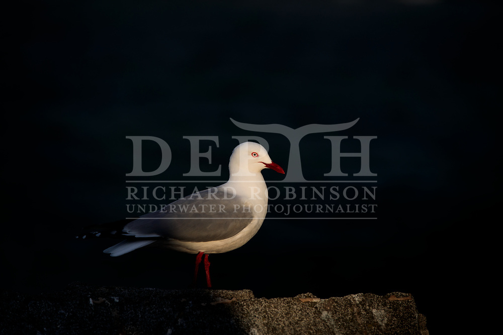 Larus novaehollandiae (Red billed gull). <br /> Richard Robinson &copy; 2016.