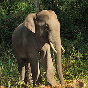 Wild Asian Elephant, Elephas maximus. Pang Sida National Park, Thailand.