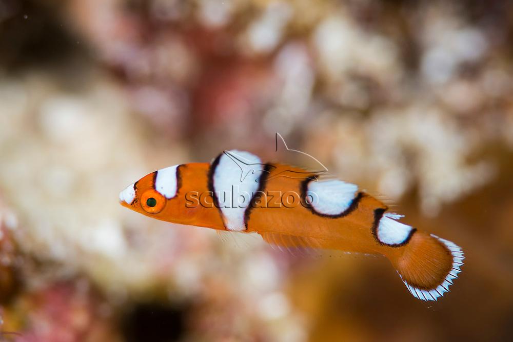 Juvenile Yellowtail Coris, Coris gaimard, Mabul, Sabah, Malaysia, Borneo, Celebes Sea,