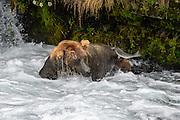 Grizzly Bear (Ursus arctos) photographs during the Salmon Run from Brooks Falls, Katmai National Park, Alaska, USA