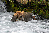 Grizzly Bear (Urus arctos)