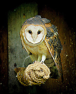 Ghostly pale and normally strictly nocturnal, Barn Owls are silent predators of the night world. Lanky, with a whitish face, chest, and belly, and buffy upperparts, this owl roosts in hidden, quiet places during the day.