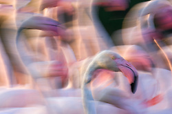 Motion blur of flock of greater flamingos ( Phoenicopterus ruber) walking in a lake, Le Camargue, Provence, France