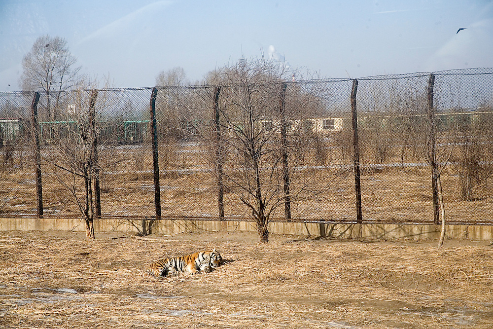 Tigers lay around in an enclosure at the Siberian Tiger Park in Haerbin, Heilongjiang Province, China. The Siberian Tiger Park is described as a preserve to protect Siberian tigers from extinction through captive breeding.  Visitors to the park can purchase live chickens and other meat to throw to the tigers.  The Siberian tiger is also known as the Manchurian tiger.