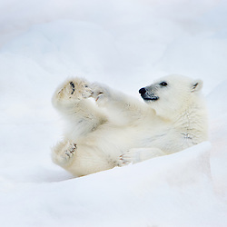 A polar bear cub is playing on the ice. Barents Sea