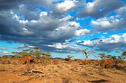 Kenya, Samburu National Reserve, Kenya, African Elephant