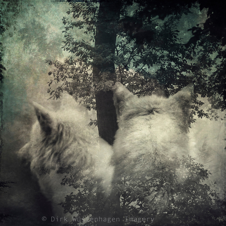 Two white wolves watching...double exposure with my own photographs<br /> Prints: https://society6.com/product/longing-mxe_print#1=45